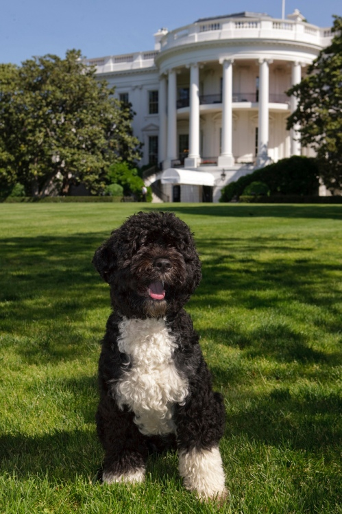 Bo: The First Dog  (Official White House photo by Chuck Kennedy.)