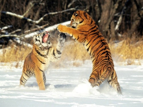 Cat Fight, Siberian Tigers