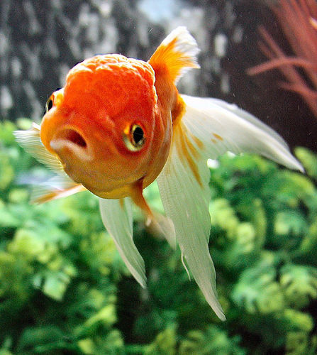 Goldfish by bfraz on flickr