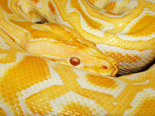 Python Burmese by Tambako the Jaguar